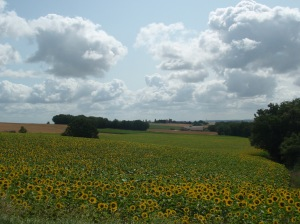 Sunflowers of France